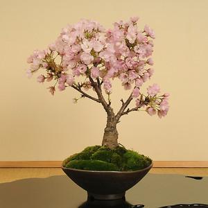 y-bonsai_y1227.jpg
